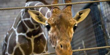 Zürafa Marius