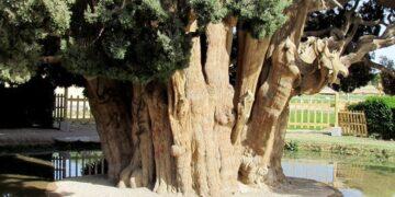 dünyanın en yaşlı ikinci ağacı