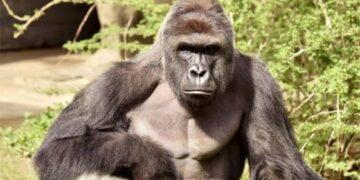 öldürülen goril